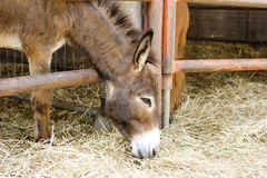 Young donkey Royalty Free Stock Photography