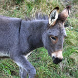 Young Donkey Royalty Free Stock Image