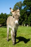 Young donkey Royalty Free Stock Photo