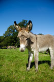 Young donkey Royalty Free Stock Photos