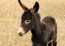 Young donkey. Shot on the Alberta prairies Royalty Free Stock Images