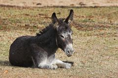 A young donkey. Young donkey is a family pet, resting in the cool of the day Stock Photo