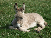 Young Donkey. A young donkey laying in the grass Stock Photos