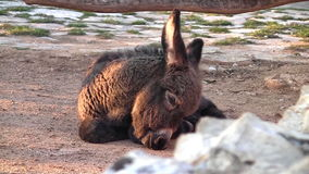 Young donkey stock video footage