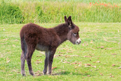 Young donkey Stock Images