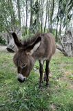 A young donkey in a clearing in the countryside royalty free stock image