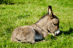Young donkey eating grass Royalty Free Stock Photography