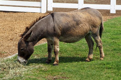 Young Donkey (Equus asinus). A young donkey in an enclosure Stock Photos