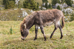 Young donkey grazing Stock Image
