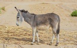 Donkey. Young Donkey Grazing Under Day Light Stock Photos