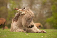 Young Donkey Sleeping Royalty Free Stock Image