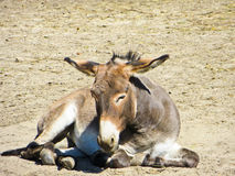 Young donkey in zoo Stock Images