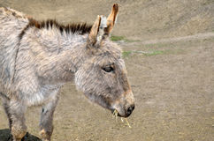 Young donkeys feed straw and grass in the zoo Royalty Free Stock Images