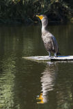 Young Double-crested Cormorant royalty free stock photo