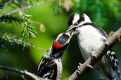 Young Downy Woodpecker Being Fed By Its Father. In an Evergreen Tree Royalty Free Stock Image