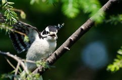 Young Downy Woodpecker Taking to Flight Stock Photography