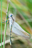 Young dragonfly Stock Photography