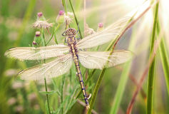 Young dragonfly Royalty Free Stock Image