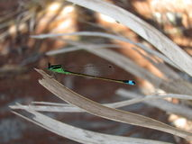 Young dragonfly Stock Image
