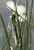 Young dragonfly dries wings Royalty Free Stock Photos