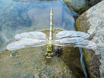 Young dragonfly before the first flight Royalty Free Stock Images