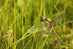 Young dragonfly Stock Photos