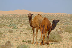 Young Dromedaries in the Desert of Morocco. Two young Dromedaries, one looking in the one right, the other one in the opposite. Standing in the Sahara in Morocco Royalty Free Stock Photo