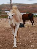 A young dromedary in a paddock. A young Arabian camel or dromedary wwith a horse in a paddock on the Canary island Fuerteventura belonging to Spain Stock Photos