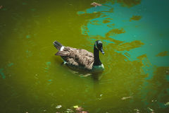 Young duck floating on the river Stock Image
