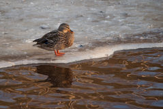 Young duck on ice in winter Stock Photography