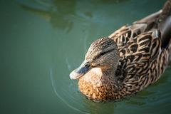 Young Duck in a Lake. Top view Royalty Free Stock Image