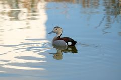 Young duck on the lake Royalty Free Stock Photo