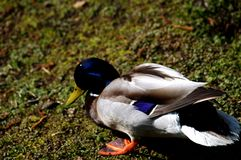 The young duck. On meadow Royalty Free Stock Photos