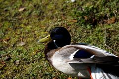 The young duck. On meadow Royalty Free Stock Photography