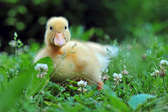 Young duck stock image