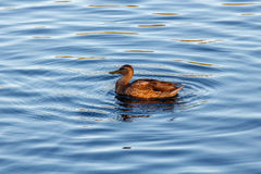 Young duck slowly floating by the blue lake Stock Photo