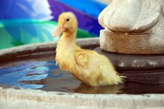 Young Duck in Water Fountain. Young yellow duck wading in a water fountain Royalty Free Stock Photo