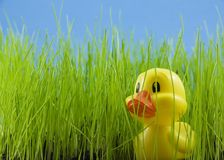 Young Duckling. In tall grass Royalty Free Stock Images