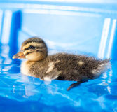 Young duckling. Close up of duckling in water Royalty Free Stock Photography