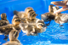 Young duckling. Ducklings swimming in a baby pool Stock Image
