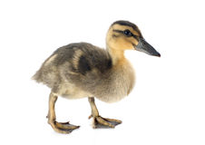 Young duckling Royalty Free Stock Images