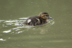 Young duckling. On a pond Stock Images
