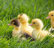 Young Duckling sitting in grass Stock Images