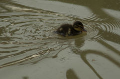 A young duckling Royalty Free Stock Image