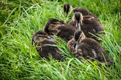 Young ducklings huddled together Royalty Free Stock Photos