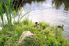 Young ducklings learn to swim. Young ducklings hiding in the grass and learn to swim Stock Images