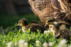 Young ducklings. Mother duck and her ducklings Stock Photos