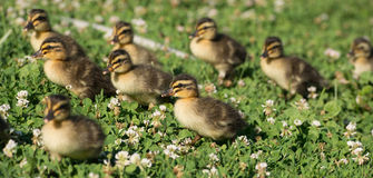 Young ducklings. Nine ducklings walking in a field of clover and grass Stock Images
