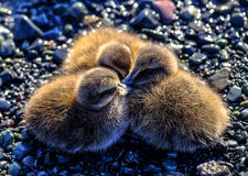Young ducklings on pebbles