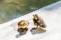 Young ducklings washing and drying near the pond stock photos